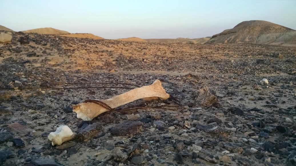 Camel bones in the desert