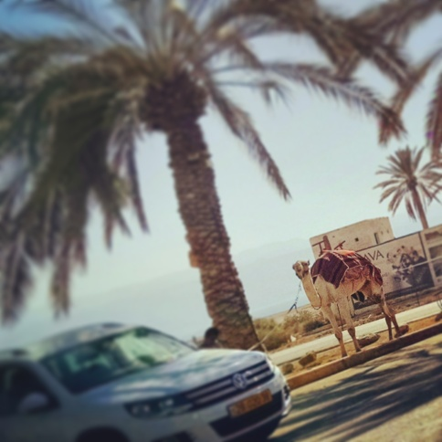 Camel rides available right from convenience store parking lots