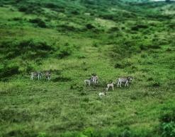 Zebras with babies