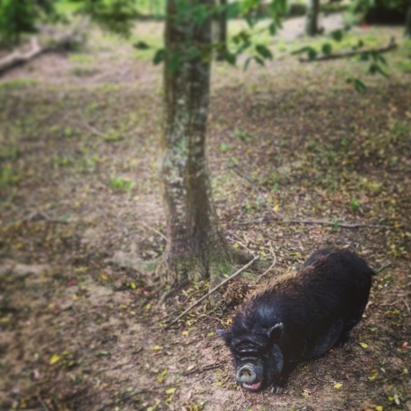 Potbellied Pig