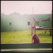 Everyone wants a handout. Orangutan