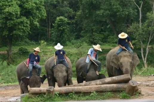 Asian elephants demonstration as working animals