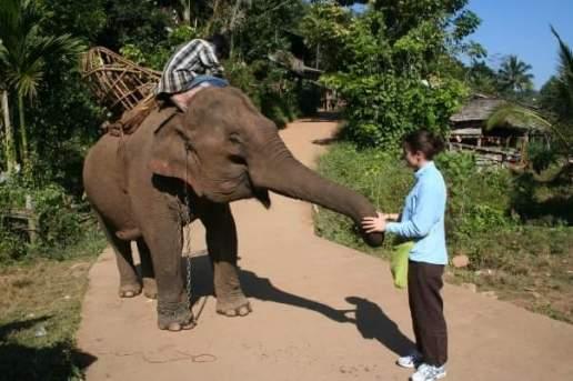 Asian elephant -small, reddish, triangle ears (Photo from 2008)