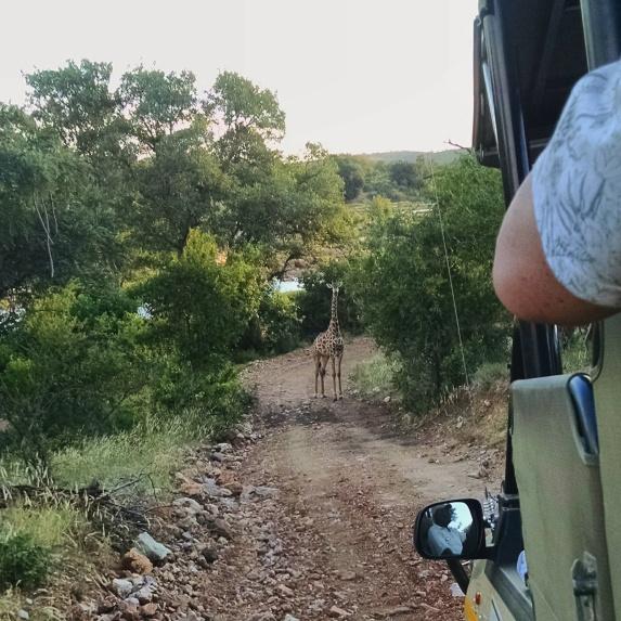 Mama giraffe in front of safari truck