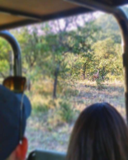 Impala in the trees