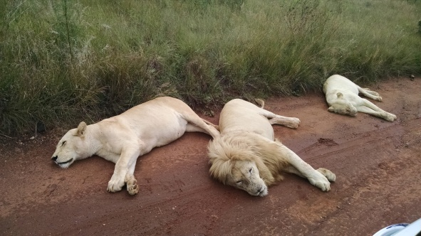 White lions snooze along the road