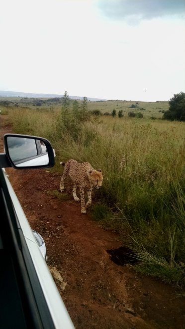 Cheetah along side the truck
