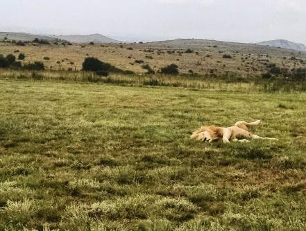 King of the Jungle - brown lion in deep sleep
