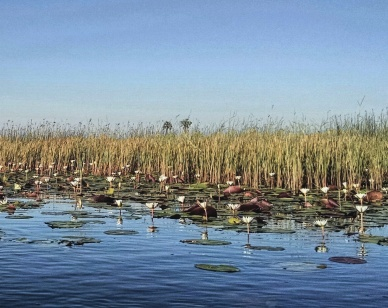 Reeds, lily pads and lotus flowers